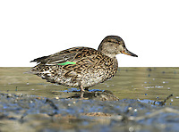 Teal Anas crecca - Female. L 34-38cm. Our smallest duck. Forms flocks outside breeding season. Often nervous and flighty. In flight, both sexes show white-bordered green speculum. Sexes are otherwise dissimilar. Adult male has chestnut-orange head with yellow-bordered green patch through eye. Plumage is otherwise finely marked grey except for black-bordered yellow stern and horizontal white line along flanks. Bill is dark grey. In eclipse, resembles adult female. Adult female has mottled grey-brown plumage. Bill is grey with hint of yellow at base. Juvenile is similar to adult female but warmer buff. Voice Male utters a ringing whistle, female utters a soft quack. Status Associated with water. Nests in small numbers beside pools and bogs mainly in N. Locally common outside breeding season on freshwater marshes, estuaries and mudflats.