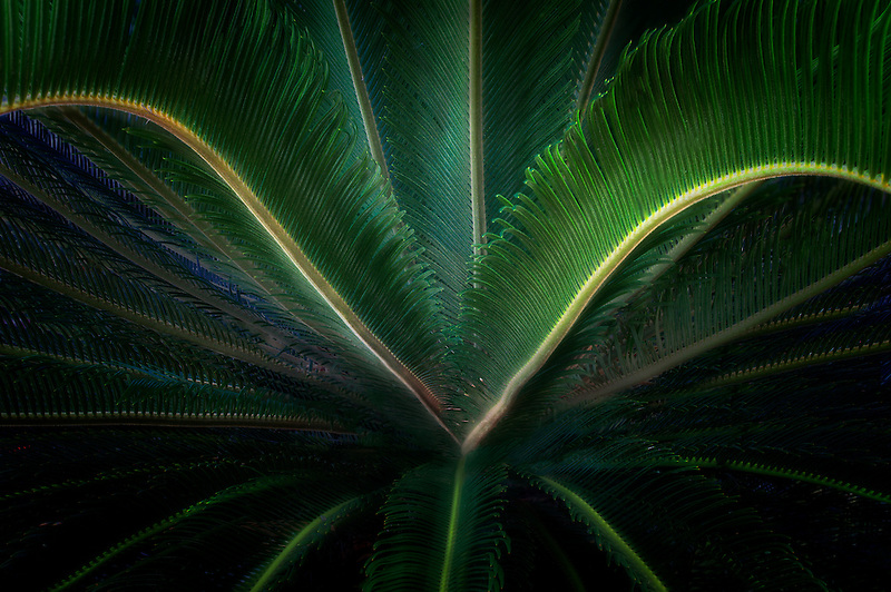Close up of Sago Palm Tahiti, French Polynesia