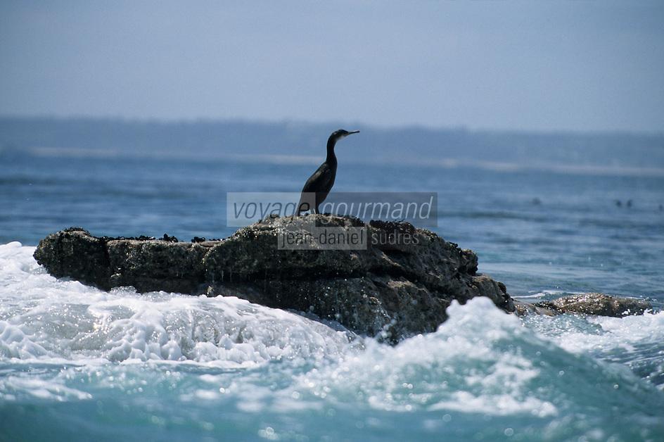 Europe/France/Bretagne/22/Côtes d'Armor/Cap Fréhel: Cormoran sur un ilot rocheux en pleine mer