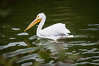 An American white pelican swimming in a lake at an urban park, the rippled water distorting the bird's reflection.