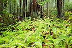 Coast Redwood (Sequoia sempervirens) forest and Sword Ferns (Polystichum munitum), Pescadero Creek County Park, California