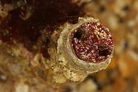 Große Wurmschnecke, Thylacodes arenarius, Serpulorbis arenaria, Serpula arenaria, Vermetus arenarius, giant worm shell, Wurmschnecken, Vermetidae, worm snails, worm shells