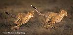 Tanzania: Migration Big Cats