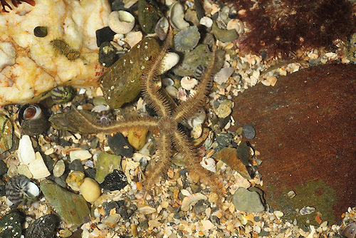 Common Bittlestar - Ophiothrix fragilis