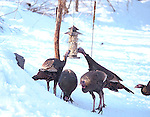 Wild Turkeys, Meleagris gallopava, feeding in winter at backyard suet feeder