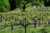 First growth of wine grape vines - CARMEL VALLEY, CALIFORNIA