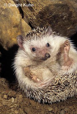 MA42-007z  African Pygmy Hedgehog - Atelerix albiventris