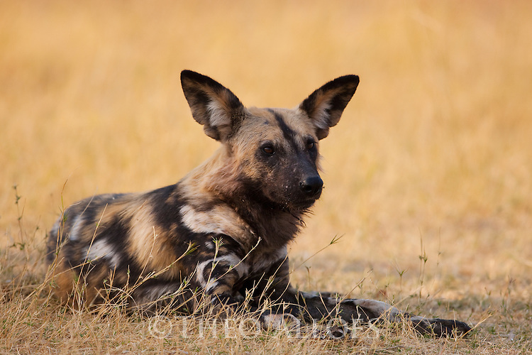 Botswana, Okavango Delta, Moremi Game Reserve, African wild dog (painted wolf, painted dog) (Lycaon pictus ) resting, African wild dogs are highly endangered animals