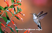 01162-093.08 Ruby-throated Hummingbird (Archilochus colubris) female at Cigar Plant (Cuphea ignea)  Shelby Co. IL