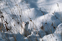 Long-tailed Weasel (Mustela frenata).  Winter.  Northern Plains.