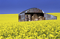 Barn filled with straw bales in field of rape flowers.