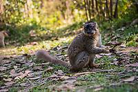 Africa, Madagascar, Vakona Forest reserve, Lemur Island. Brown Lemur on Lemur Island.