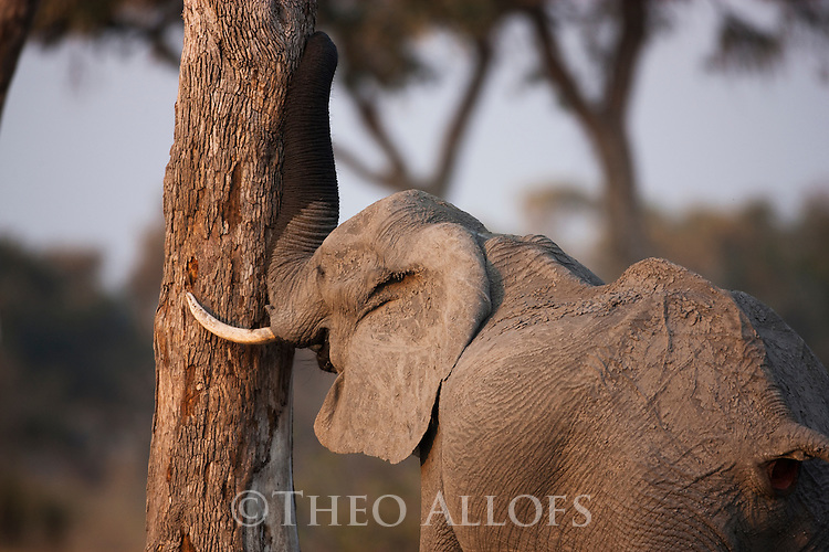 Botswana, Okavango Delta, Moremi Game Reserve,  African elephant   bull (Loxodonta africana) rubbing tree with trunk