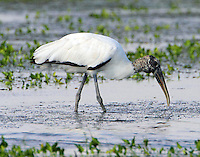 Adult wood stork feeding