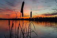 Cattails sihouette by colorful sunset on Van Auken Lake one December evening.