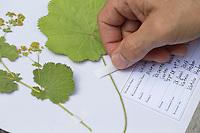 Gepresste Pflanze wird mit Klebestreifen am Herbarbogen fixiert. Botanik, Botanisieren, botany, Herbar, herbaria, Herbarien, herbarisieren, herbier, Pflanzenbestimmung, Pflanzenherbar
