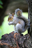Grey Squirrel in St James, London, United Kingdom