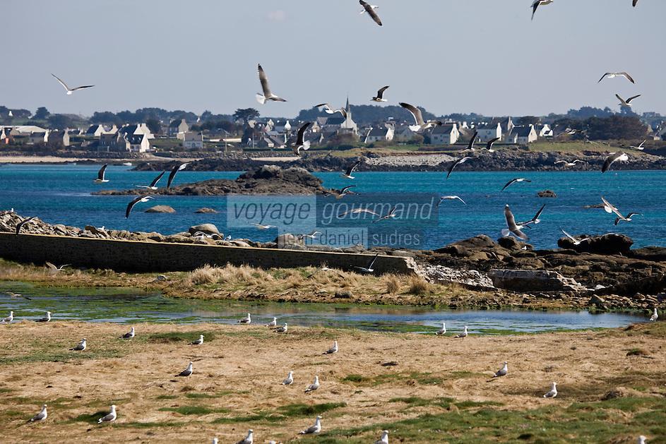 Europe/France/Bretagne/29/Finistère: Sur l'Ile Vierge mouettes et en fond le bourg de Lila