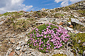 Moss Campion {Silene exscapa} forms low, dense mounds that hug the mountain side  as an adaption to the cold conditions. Wide angle view showing habitat. Nordtirol, Tirol, Austrian Alps, Austria, 2500 metres, June.