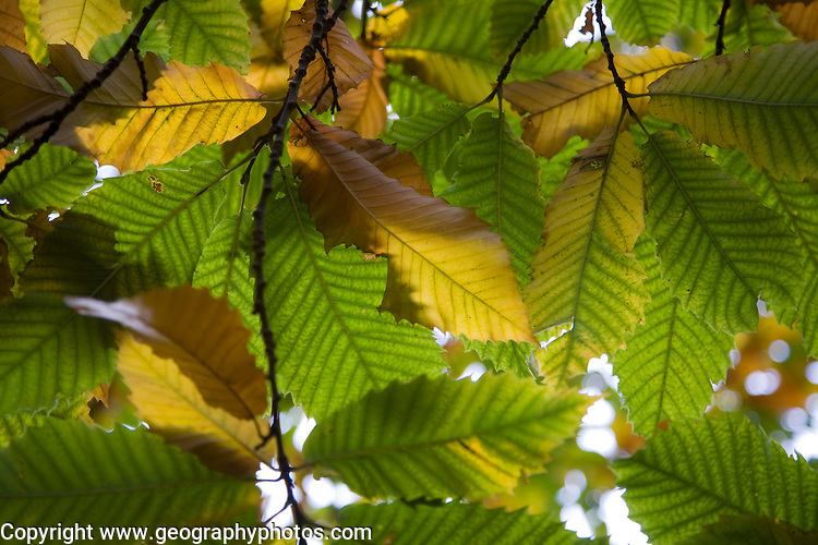 Autumn leaves Castanea sativa sweet chestnut tree viewed from underneath
