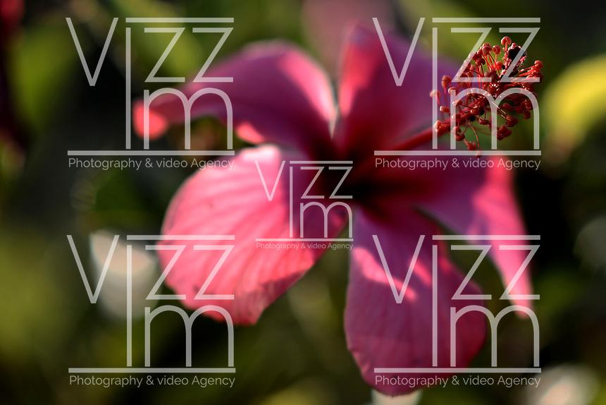 BOGOTÁ-COLOMBIA- Flor de Cayeno./ Cayeno flower. Photo: VizzorImage/STR
