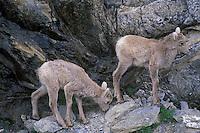 Bighorn lambs, Jasper National Park, Canada