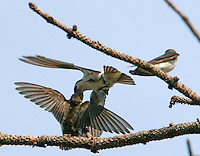 Adult male violet-green swallow feeds fledgling on the fly while a second fledgling looks on