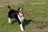 SH25-644z English Springer Spaniel puppy playing