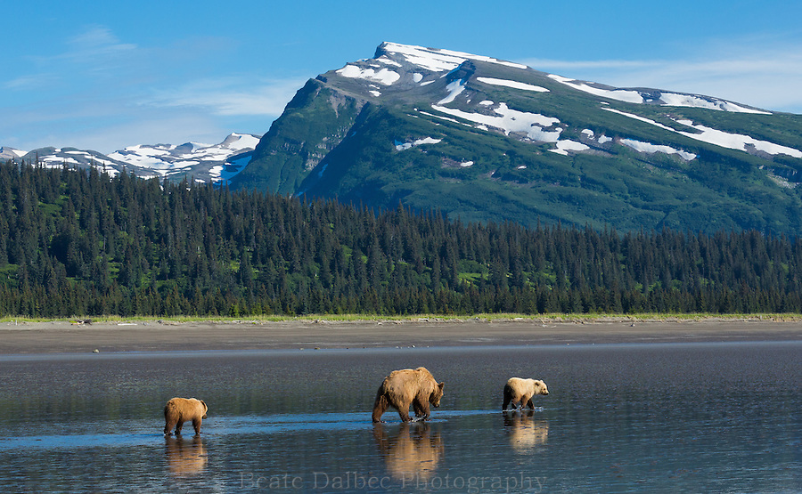 Brown bears walking along the beach in Lake Clark National Park, Alaska
