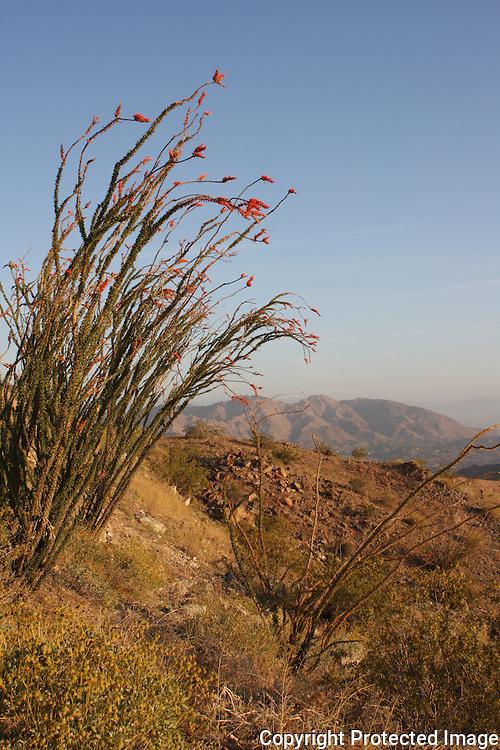 Blooming ocotillo near Hwy 74