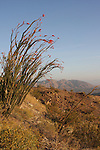 Blooming ocotillo near Hwy 74