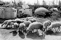 Albania. Province of Fier. Fier. A flock of sheeps near a group of destroyed bunkers which are left over in an illegal rubbish dump. Enver Hoxha (1908-1985) was for 40 years a dictator and a communist leader. He decided after the historic break with Russia in 1961 to protect his country from any invaders by investing in a massive fortification (more than a million bunkers were built over the years till 1985). © 2003 Didier Ruef