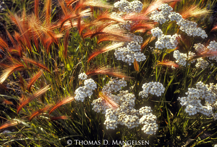 Foxtail and yarrow grow in the Yukon Territory in Canada.