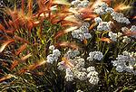 Foxtail and yarrow grow in the Yukon Territory in Canada.