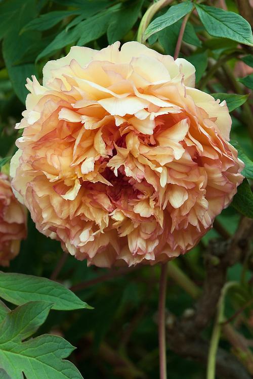 Paeonia x lemoinei 'Souvenir de Maxime Cornu', mid May. An apricot-orange coloured French tree peony.