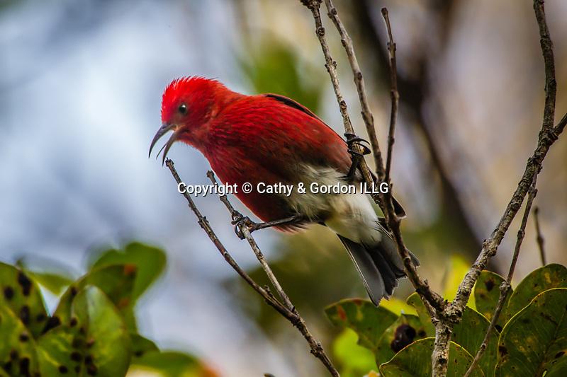 North America, USA, Hawaii, Hawaii Volcanoes National Park, apapane calling