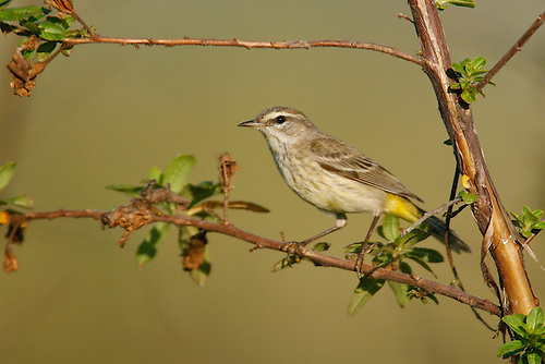 Palm Warbler - Setophaga palmarum - immature