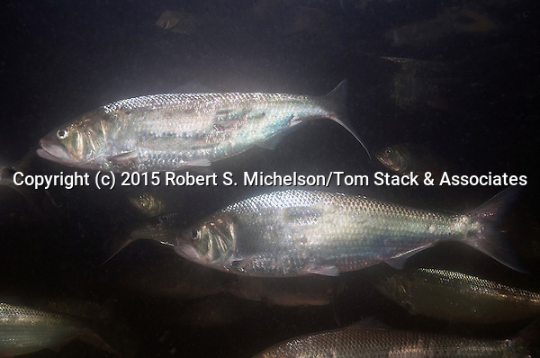American shad 2 shot swimming right in the Connecticut River, Holyoke, Massachusetts