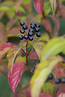 Blutroter Hartriegel, Hartriegel, Frucht, Früchte, Beeren, Herbstlaub, Cornus sanguinea, Common Dogwood, Dogwood, Dogberry, fruit, Cornouiller sanguin