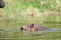 Hippopotoums, Queen Elizabeth National Park, Uganda, East Africa
