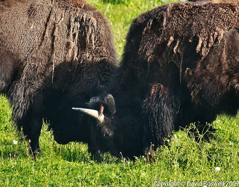 Two bull bison battle for dominance in Yellowstone National Park.