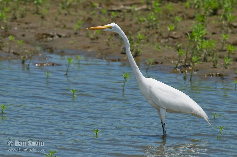 Great egret, Ardea alba, at the shore of the Tarcoles River, Costa Rica