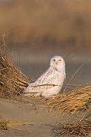 Snowy Owl, Nyctea scandiaca, Sand dunes, Stone Harbor, New Jersey