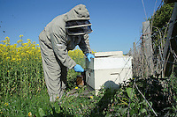 A beekeeper opening a bee hive at the side of an oilseed rape field at the rate of three quarters of an acre per hive..Lancashire.