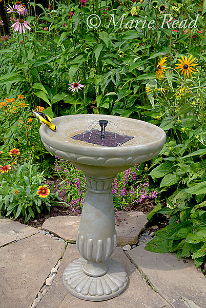 American Goldfinch (Carduelis tristis) drinking from Duncraft Solar Birdbath, with its solar-powered fountain, in summer, New York, USA
