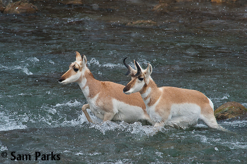 Pronghorn buck and doe fording river during winter. Yellowstone National Park, Montana.