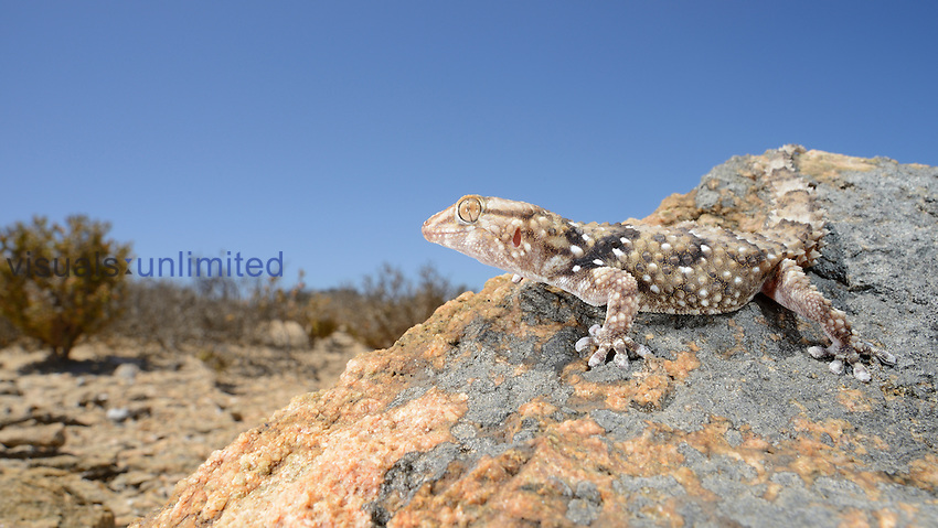 Bibron's Thick-toed Gecko (Chondrodactylus bibronii), Namaqualand, South Africa