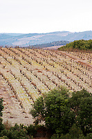 Vines on The Pech Bedet mountain hill between Embres et Castelmaure and Villeneuve les Corbieres on the border between Fitou and Corbieres. Les Corbieres. Languedoc. France. Europe. Vineyard.