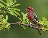 Common House Finch singing in spring, on a Firethorn shrub..