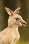 Eastern Grey Kangaroo (Macropus giganteus) male during rainfall, Bawley Point, New South Wales, Australia